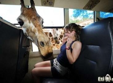 Smalsi žirafa susipažįsta su autobuso keleiviais
