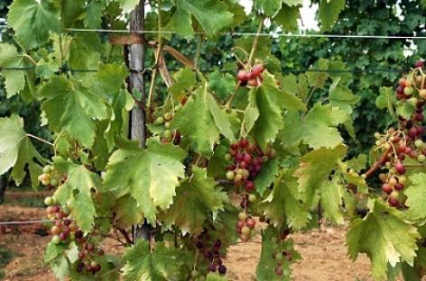 Biodegalai – iš vyno gamybos atliekų
