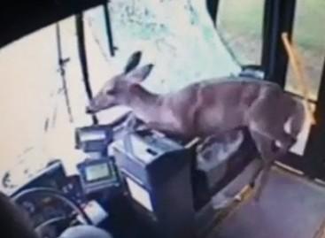 Pensilvanijoje autobusu važinėjosi… elnias (video)