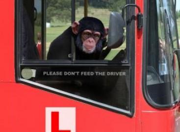 Vairuotojui užsnūdus, beždžionė nuvarė autobusą
