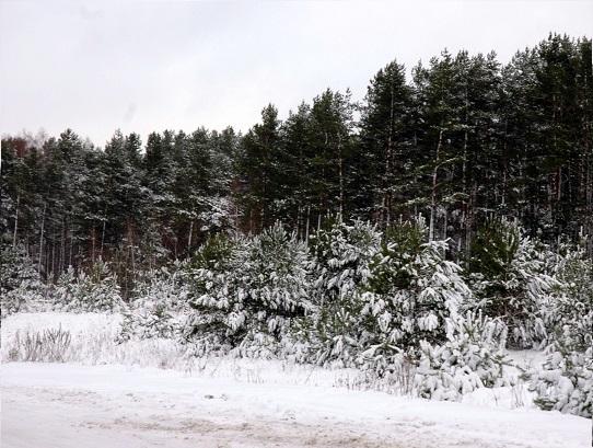 apie-ziema