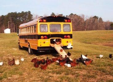 Vištų ferma – sename mokykliniame autobuse