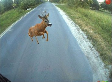 Kaip elgtis, jei kelyje kliudėte laukinį gyvūną