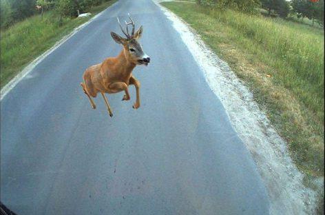 Laukiniai gyvūnai keliuose: kelionės saugumą lemia ir vairuotojų veiksmai